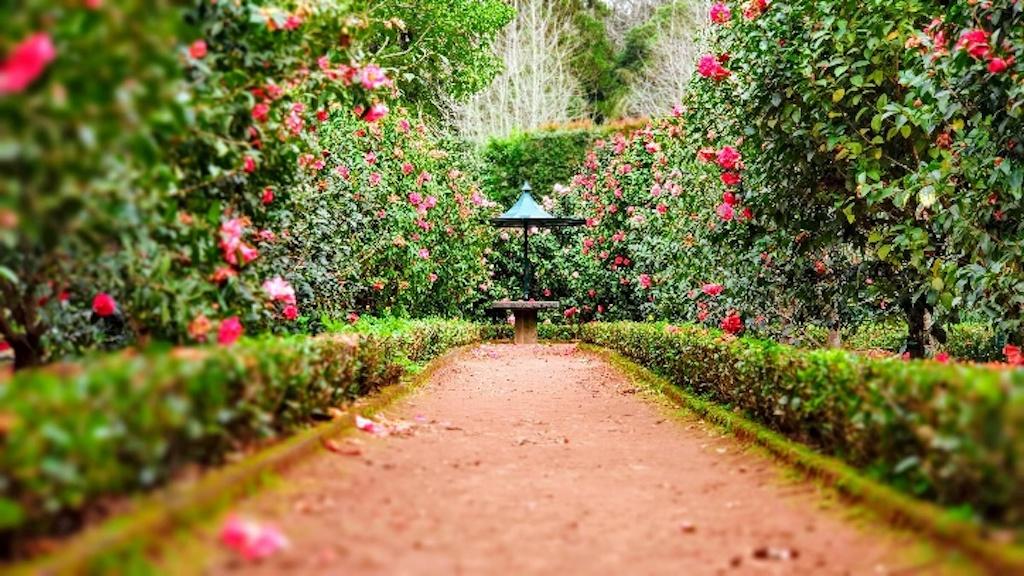 Two rows of camellias in a formal garden.