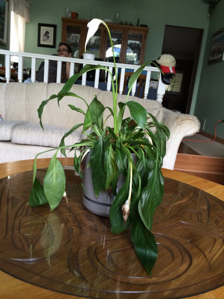 Wilting peace lily.