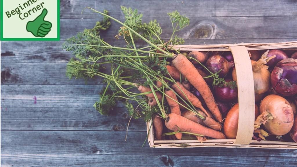 Freshly harvested carrots.