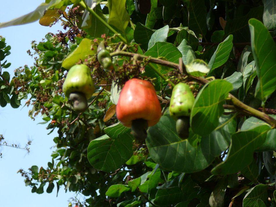 Cashew apples on tree.