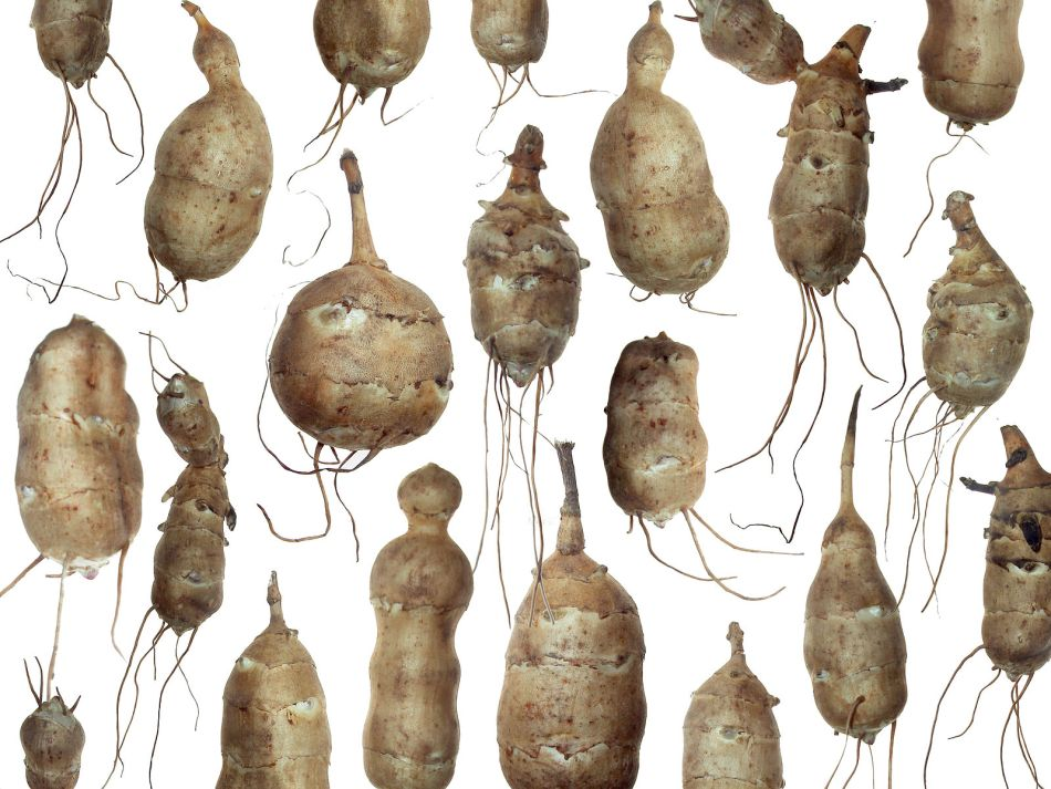 Wide range of Jerusalem artichoke tubers.