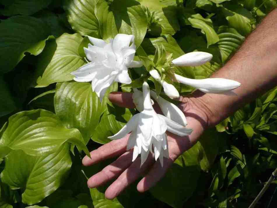 Double-flowered Aphrodite plantain hosta