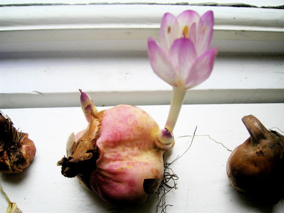Colchicum bulb blooming on a windowsill