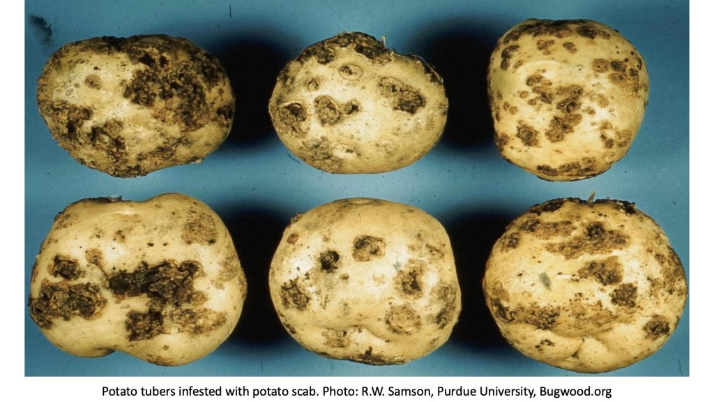 Potatoes with scabs.