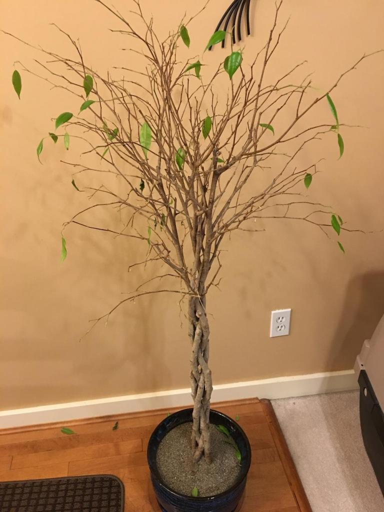 Ficus benjamina which has lost almost all of its leaves.