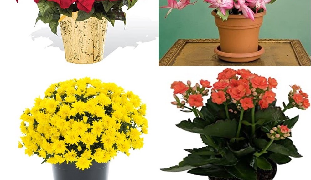 Four plants that need short days in order to bloom.