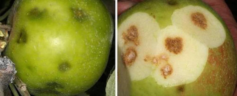 Damage to an apple caused by a brown marmorated stink bug.