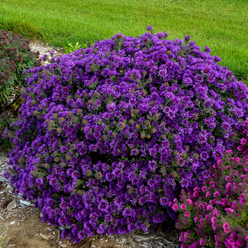 A cushion aster with purple flowers.