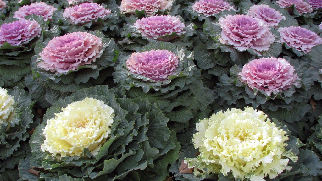 Red and white ornamental cabbage.