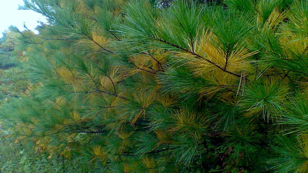 Yellowing needles on eastern white pine.