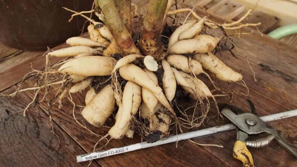 Freshing dug dahlia showing multiple tuberous roots.
