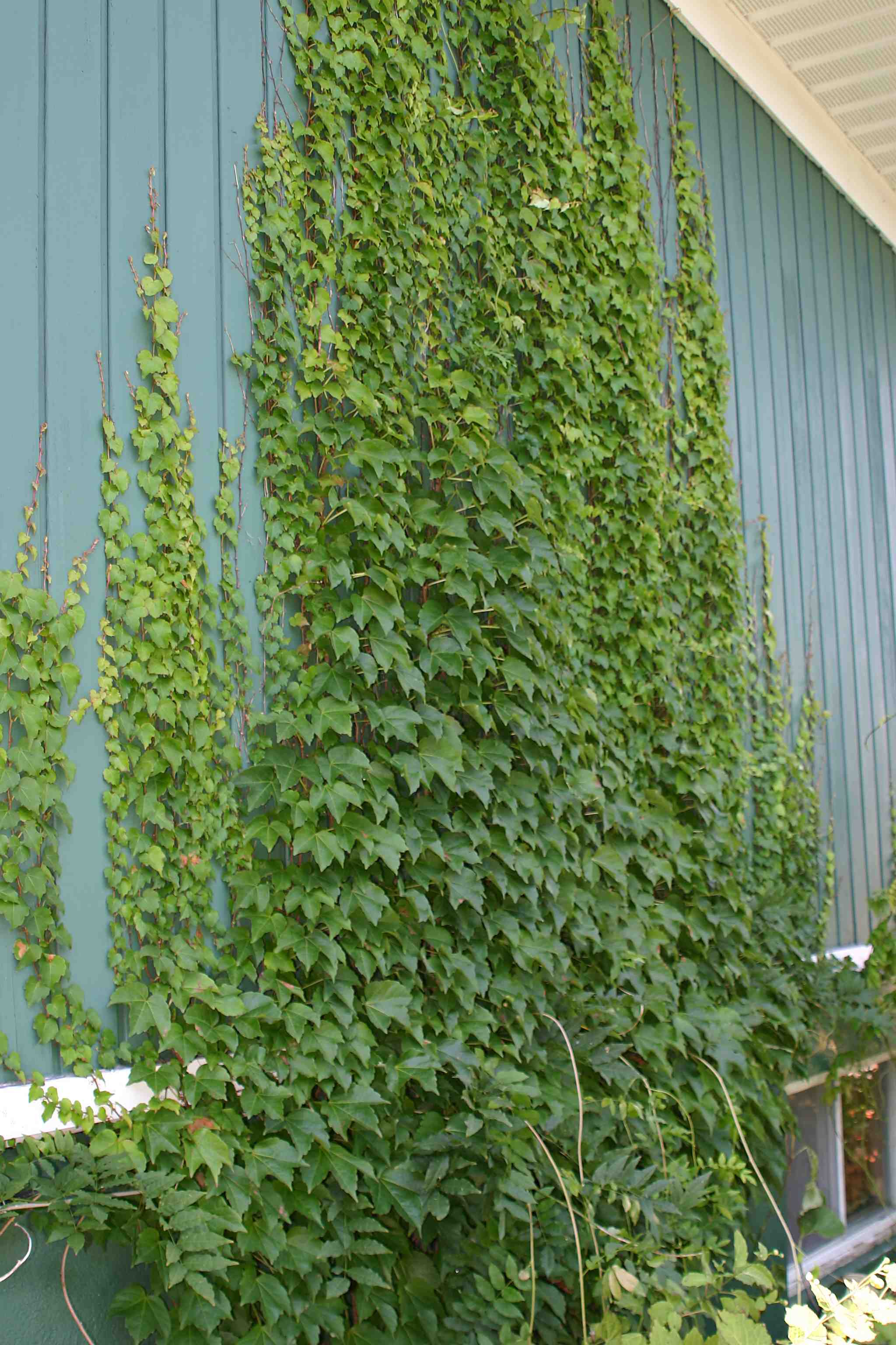 Do Climbing Plants Damage Walls?  Laidback Gardener