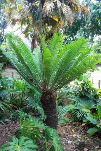 Cycad (Cycas revoluta)
