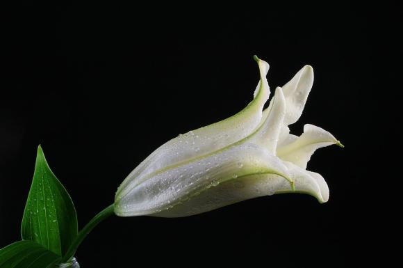 foto flor blanco paris lirio