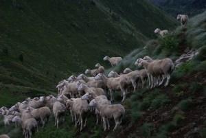 Laines Paysannes Brebis et agnelles tarasconnaises en estive