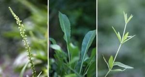 Laines Paysannes Plantes tinctoriales Gaude, Pastel, Garance des teinturiers
