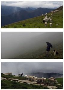 Laines Paysannes brebis tarasconnaises en estive avec leur berger