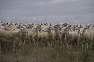 Laines Paysannes accueil troupeau de brebis