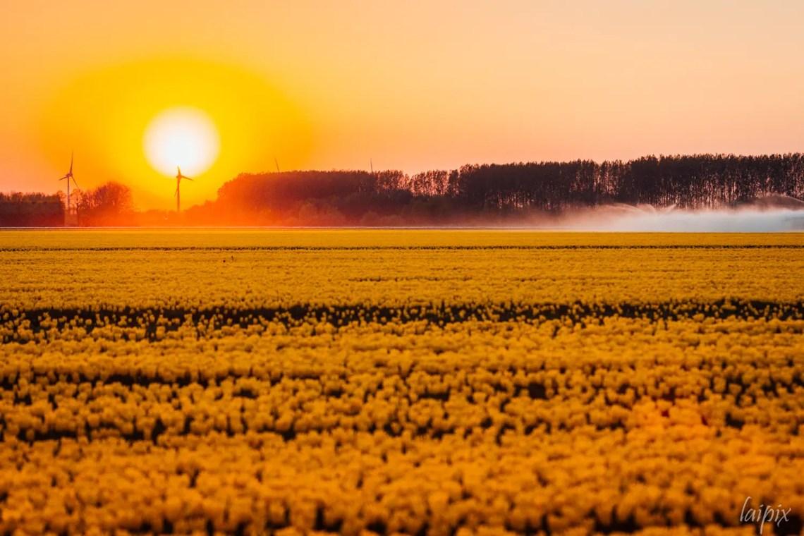Goeree-Overflakkee Sonnenuntergang über gelben Tulpenfeld