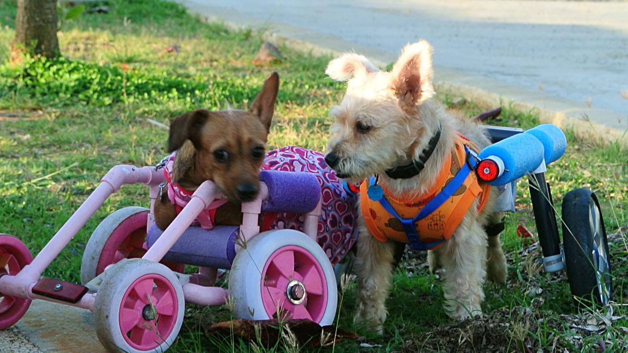 A los perros con impedimento pedro los pone a rodar la for Sillas para perros