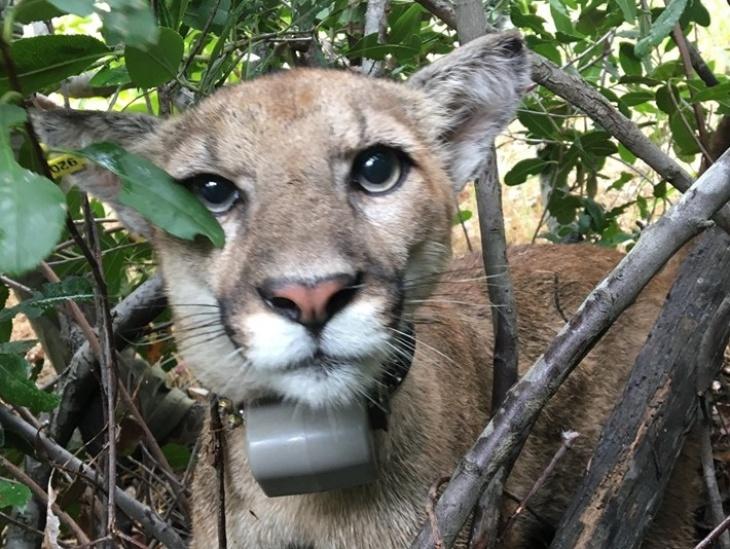 new la mountain lion