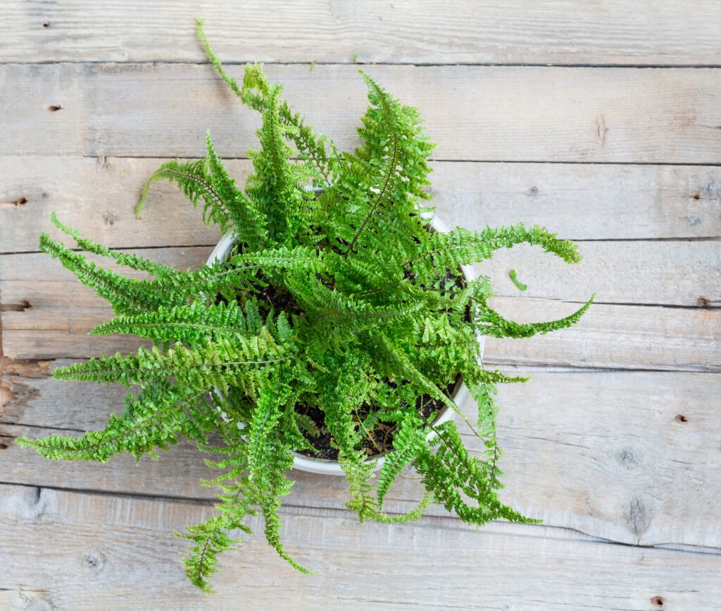 Boston fern indoor plant clean air - HEALTH AND FITNESS