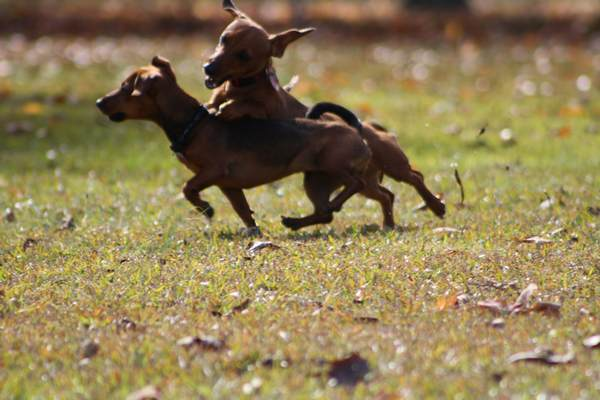 dachsund_puppies6