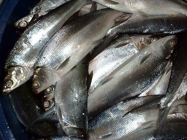 Image of bangus fish inside a pale, typical market scene in the Phils.