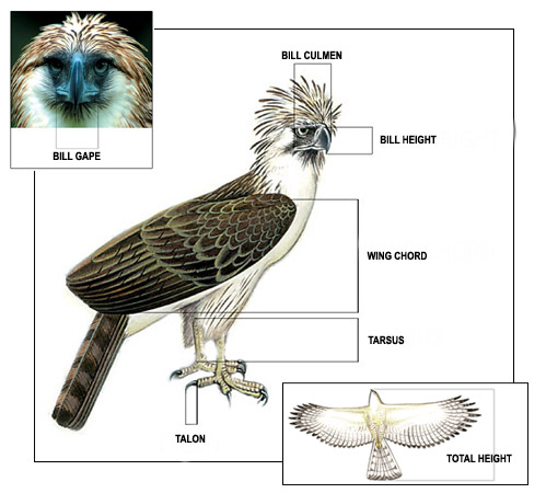 golden eagle skeleton diagram tool to draw architecture vulture toyskids co get free image about wiring owl bear