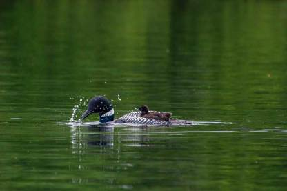 Loon & chick by Great Island Photography