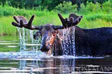 Gordon the Bull Moose