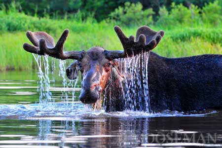 "Gordon the Bull Moose by Rick ""The Moose Man"" Libbey"
