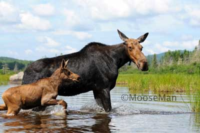 Sherry Baby Moose by Rick Libbey
