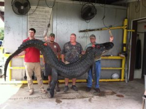 Giant Alligator Caught in Lake Seminole at Lake Allatoona