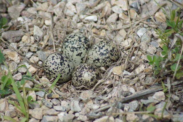 Killdeer Eggs and Nest