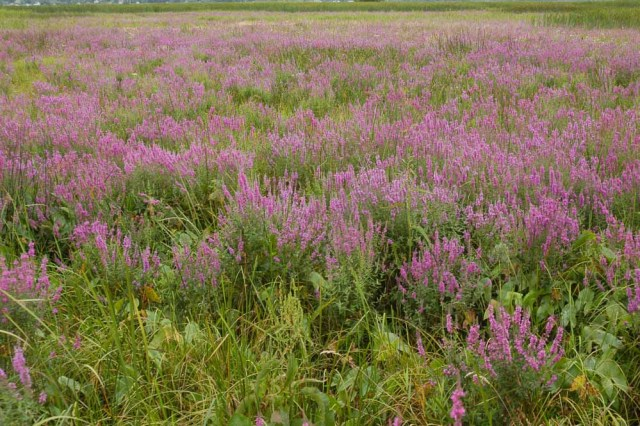 Purple Loosestrife in Sedge Meadow