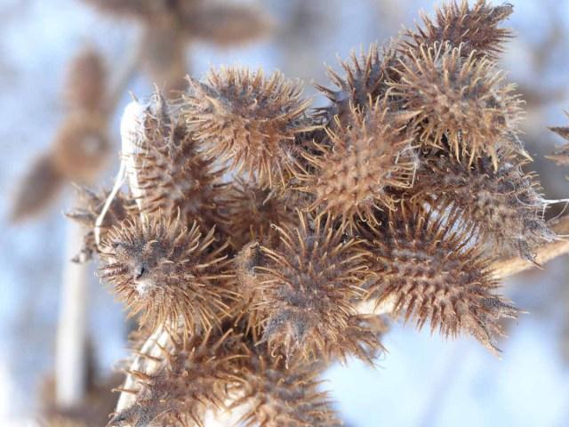 Cocklebur seeds