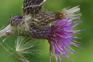 European Marsh Thistle Flower
