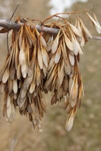 Green Ash Seeds