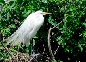 During the middle of the day, you will most likely find the Great Egret at the top of the trees, roosting, preening, and socializing.