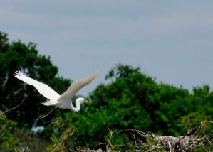 The Great Egret flies with its head retracted and has slow wing beats.