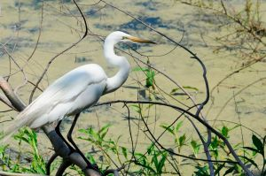 """Leaning forward in its """"hunting pose,"""" this Egret waits patiently for its prey to happen by."""
