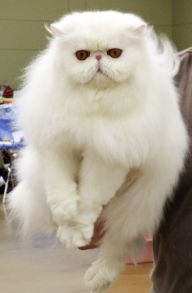 White Persian Longhair