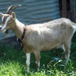 Billy goats are best visited from the other side of a very strong fence!