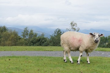 Sheep and view from Holehird Gardens in Windermere