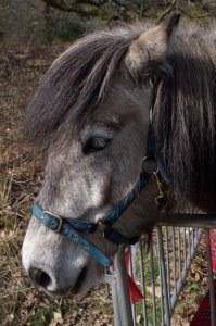 Rhona, the Highland Pony, from Mitchelland Farm, Crook