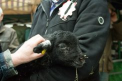 Lambs at the Westmorland County Agricultural Society stand