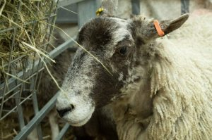 Sheep at Kendal Festival of Food