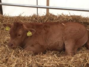 Len the calf