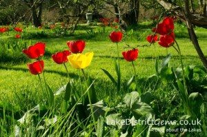 The tulips at Levens Hall